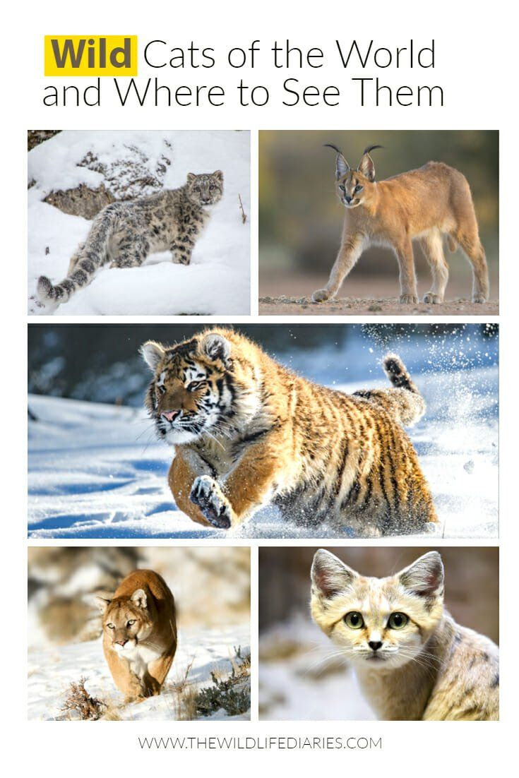 All Types Of Wild Cats And Where To See Them Cat Species Wild