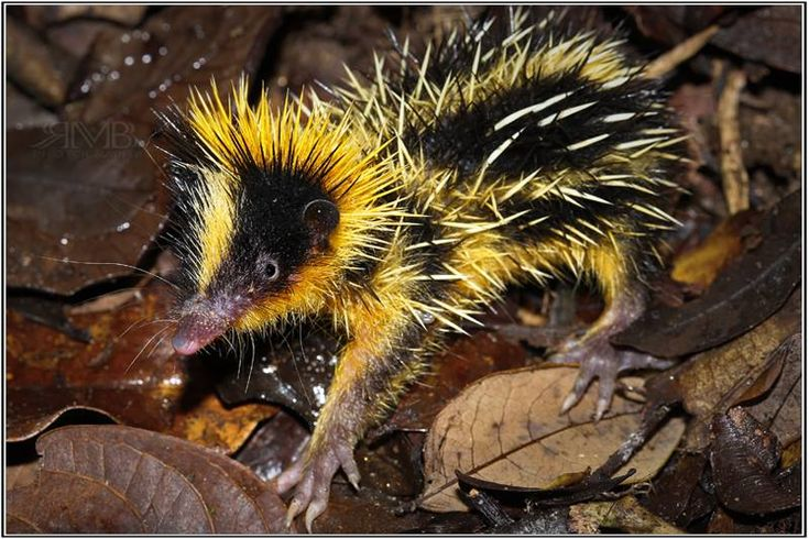 Tiny animal found in africa-6847