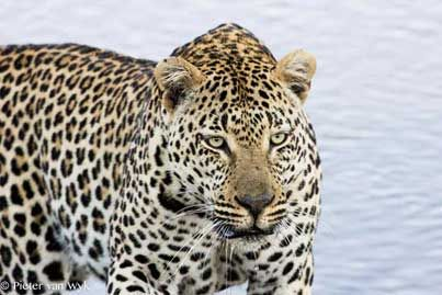 The West Street male leopard has been a busy boy! Read ranger Pieter van Wyk's blog account, including awesome pics.