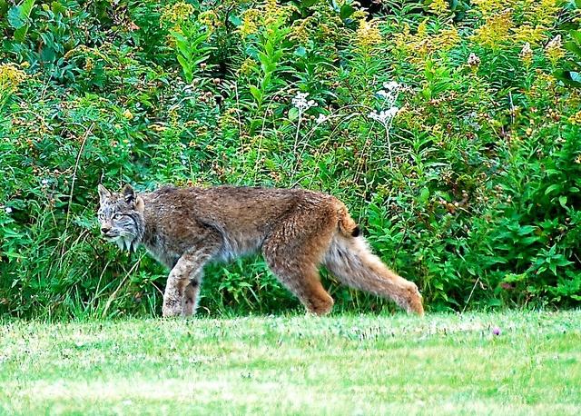 Nova Scotia Cabot Trail, Lynx