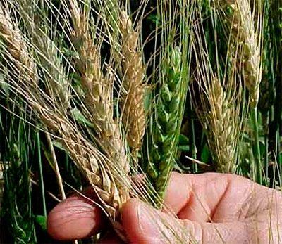 """Audio, Texto y Video del #Evangeliodeldía  """"Dejen que crezcan juntos el trigo y la cizaña hasta el tiempo de la cosecha"""""""