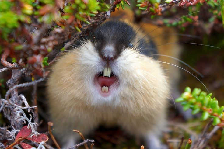 Angry-lemming.jpg (1024×683)
