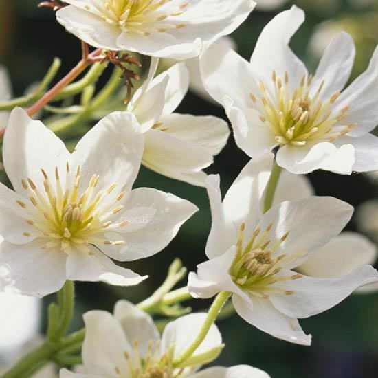A profusion of white flowers in spring