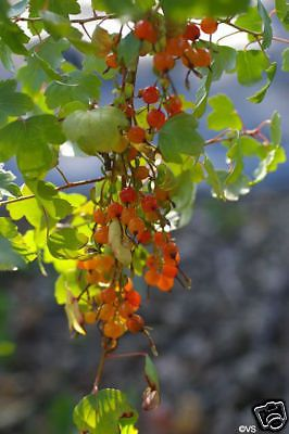 Golden-Currant-Fruit-Seeds-Delicious-Fruits-SALE