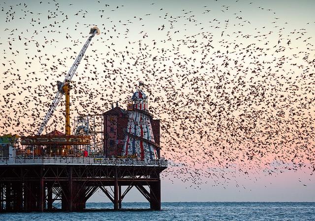 Witness the starling murmuration, Brighton Pier, England
