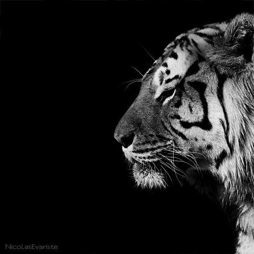 Dark Zoo - Panthera Tigris  by Nicolas Evariste