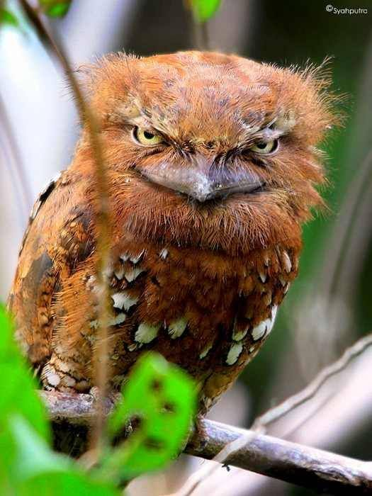 The Sunda frogmouth, Batrachostomus cornutus, from Indonesia. Frogmouths are nocturnal birds related to nightjars, and are found from the Indian Subcontinent across Southeast Asia to Australia. ~via ѕανє συя gяєєη, FB