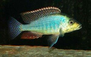 Scientific name: Lethrinops Lethrinus
