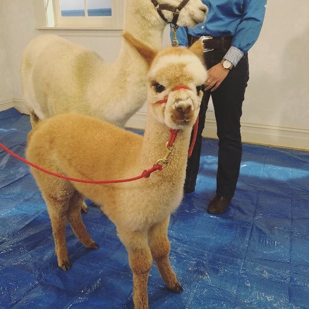 We're getting the alpacas ready in the studio!  Don't forget to email your name suggestion for this adorable little baby alpaca to competitions@tvsn.com.au or competitions@tvsn.co.nz