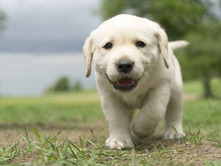"""""""Here I come!""""  #Lab #puppy"""