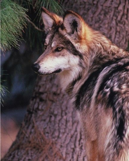 Release Mexican Wolves
