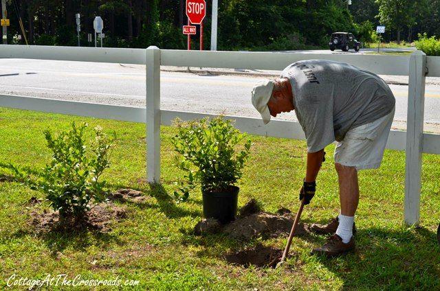 how to grow a privet hedge