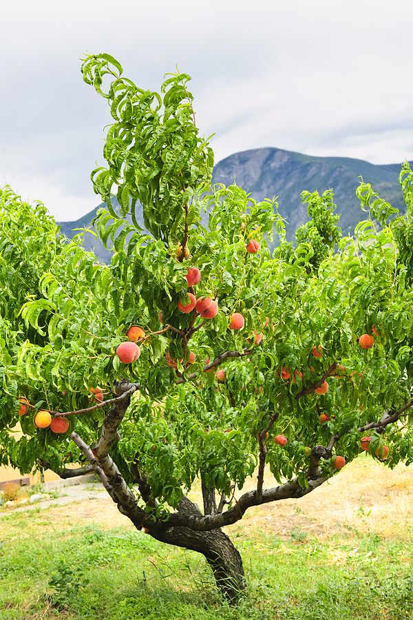 The peach is a semi-hardy deciduous woody perennial tree. A standard-sized peach tree will grow to 25 feet tall and just as wide if not pruned. A dwarf pea