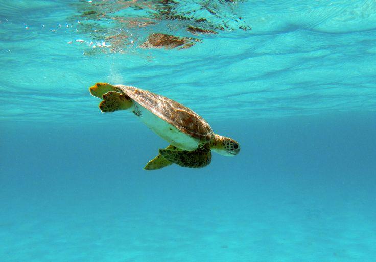 Alrededor de seis especies de tortugas marinas llegan a las playas de Quintana Roo cada año, en la temporada de mayo a septiembre, donde sus arenas blancas son el espacio ideal para que puedan tener un buen descanso y desovar en tranquilidad. #RivieraMaya