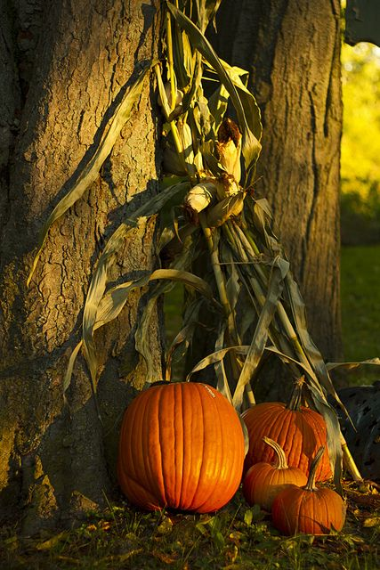 I love the way the sunlight is kissing the trees and pumpkins... Just pretty....