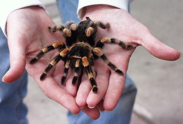 Amazing Tarantula spider - Giant Tarantula Facts, Photos, Information, Habitats…