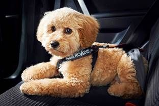 Each year In Australia more than 5,000 dogs are injured or killed in auto-related accidents... http://australianwomenonline.com/top-safety-tips-for-dogs-travelling-in-cars/