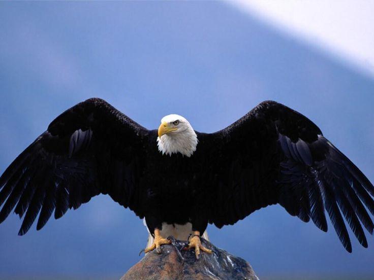Aigle royal en vol de face tatouage tatouage - Comment dessiner un aigle royal ...
