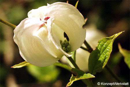 Corniolo, cornus florida Germogli