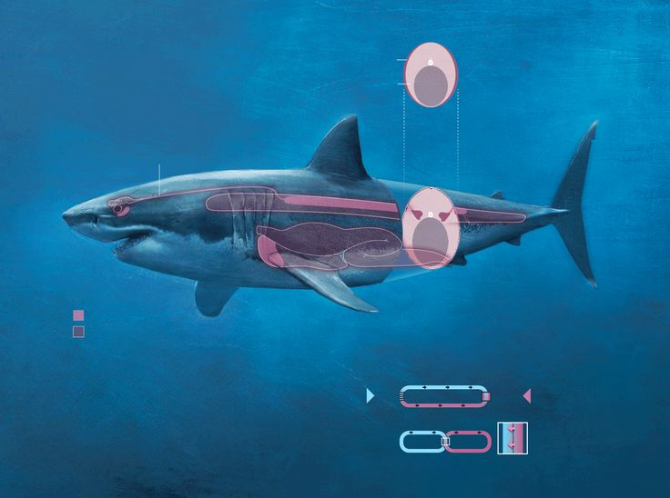 an overview of the great white shark in the animal kingdom We have all been taught to fear great white sharks (credit: alex mustard/  when  it comes to animal stereotypes, there are few more powerful.