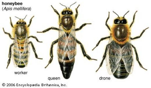 Differences between the Worker, Queen, and Drone