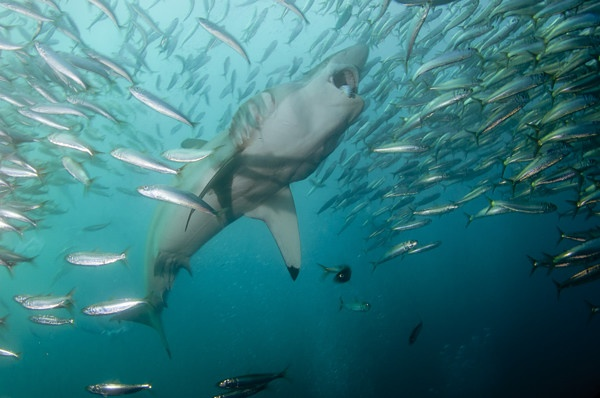 Bronze Whaler Shark Feeding on Sardines.