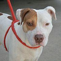 Springfield, Massachusetts - American Bulldog. Meet Rosie, a for adoption. https://www.adoptapet.com/pet/20351057-springfield-massachusetts-american-bulldog-mix