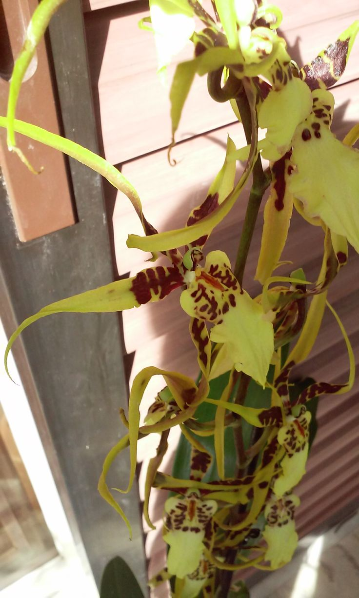 Brassidium Shooting Star orchid 11/2015