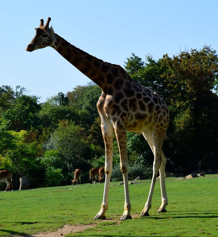 girafe zoo amneville