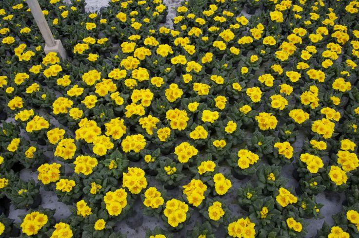 Primula Acaulis yellow in Glasshouse