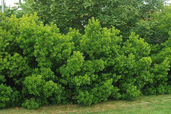 Northern Bayberry Silver Sprite Myrica Pensylvanica 6