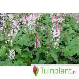 Schuimbloem (Tiarella cordifolia 'Oakleaf')