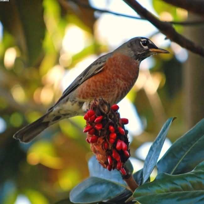American Robin California Birds Enviroscapela Com Birds