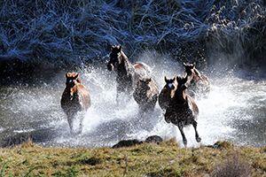 Kaimanawa's wild horses