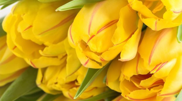 Tulips Striped Flower Buds Wallpaper Hd Flowers 4k Wallpapers Images Photos And Background Yellow Tulips Spring Wallpaper Flowers Fantastic yellow flower hd wallpaper