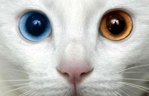 The exotic Turkish Van cat breed is known for its snowy white coat and naturally occurring blue and amber eyes.: Naturally Occurring, Animals, Cat Eyes, Turkish Van Cats, Cat Breeds, Kitty, Amber Eyes