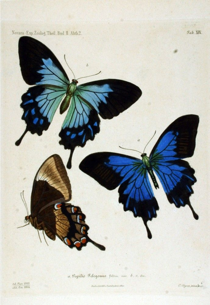 Vintage butterfly illustration; blue butterfly
