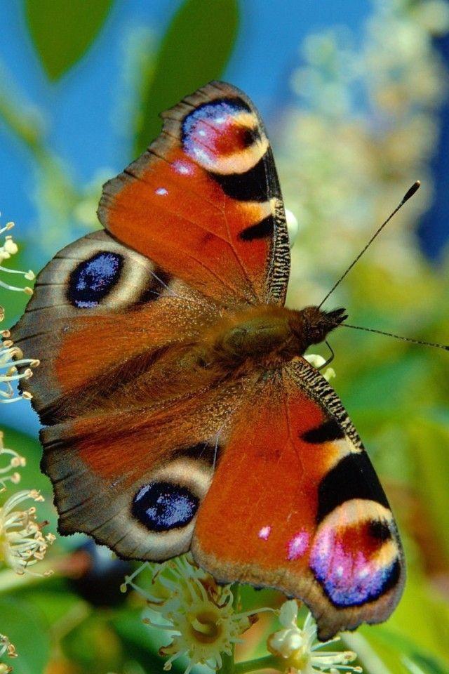 butterfly: Iphone Wallpapers, Beautiful Butterflies, Orange Animal, Peacock Butterflies, Inachi Ios, Butterflies Closeup, Butterflies Wings, Peacock Inachi, Flutterbi Butterflies
