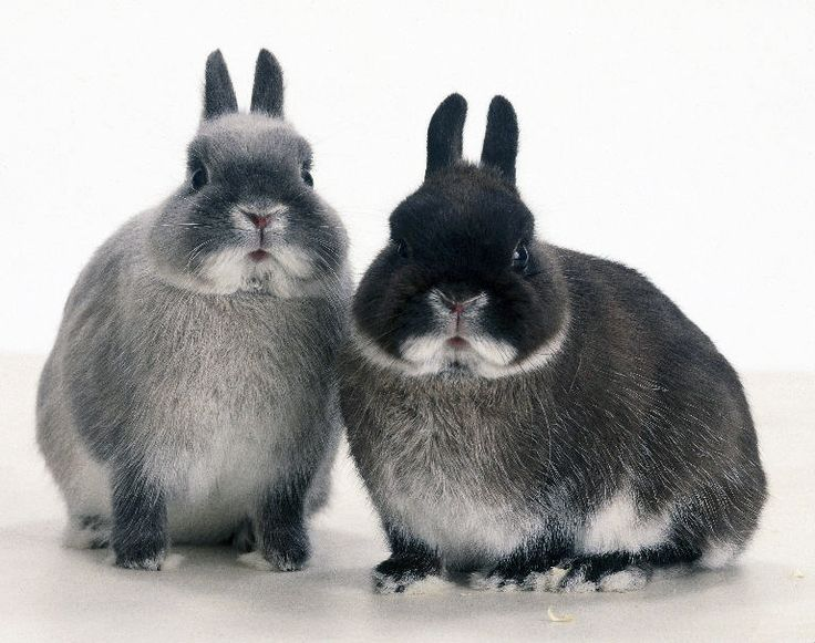 Netherland dwarf - the black one looks like FooFoo - or Martin Van Buren