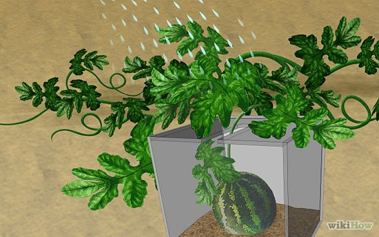 How to Grow a Square Watermelon: 5 Steps (with Pictures).  Please make me one...I will do anything!!!!!