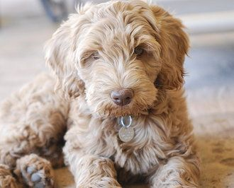 The 25 best Australian labradoodle ideas on Pinterest
