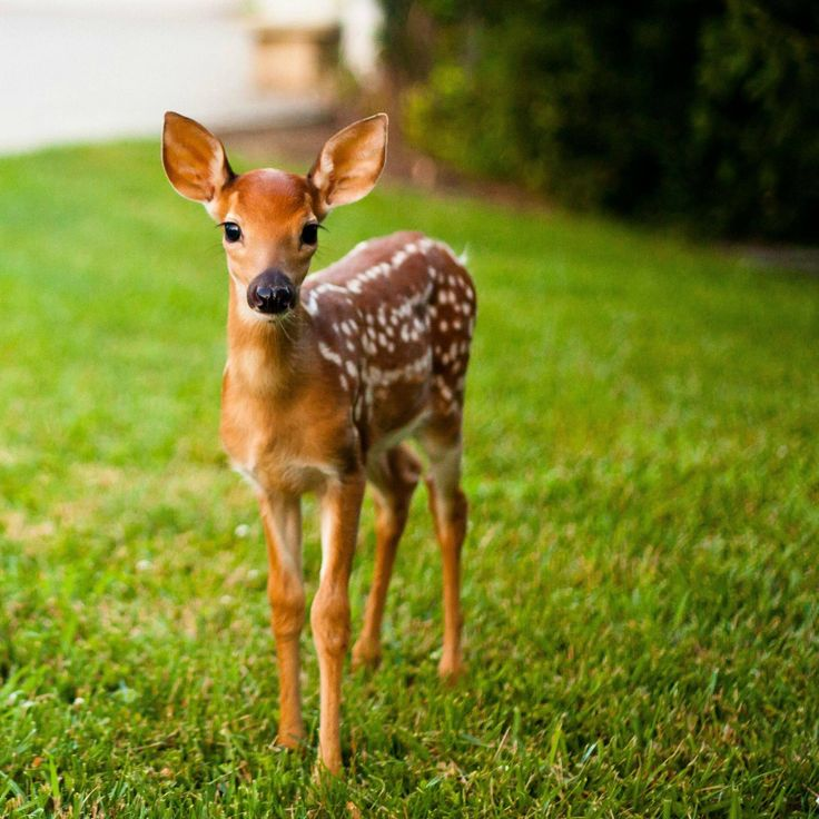 baby whitetail fawn in - photo #27