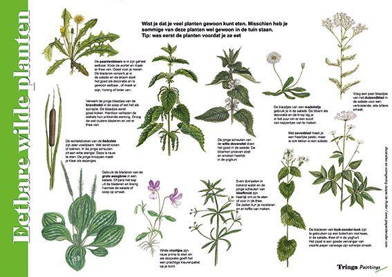 Herkenningskaart / Zoekkaart Eetbare wilde planten.  Handige geplastificeerde kaart om te zien welke planten je in het wild kunt eten en welke gerechten je er mee kunt bereiden.