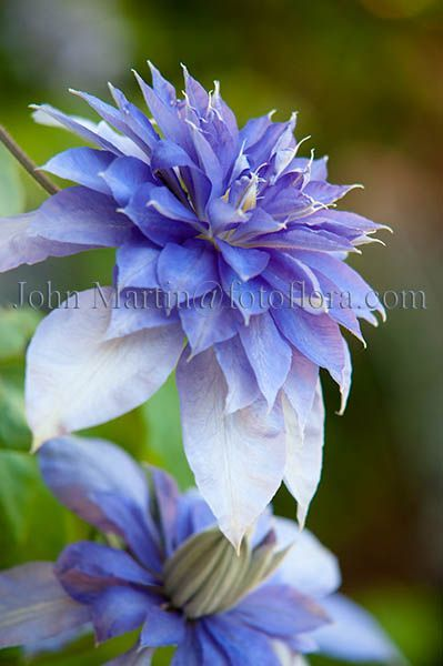 Clematis Multi Blue Beautiful gorgeous pretty flowers