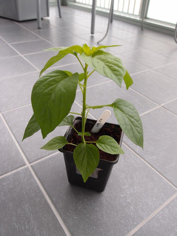 Little Elf chili pepper. Capsicum annuum. Ornamental.