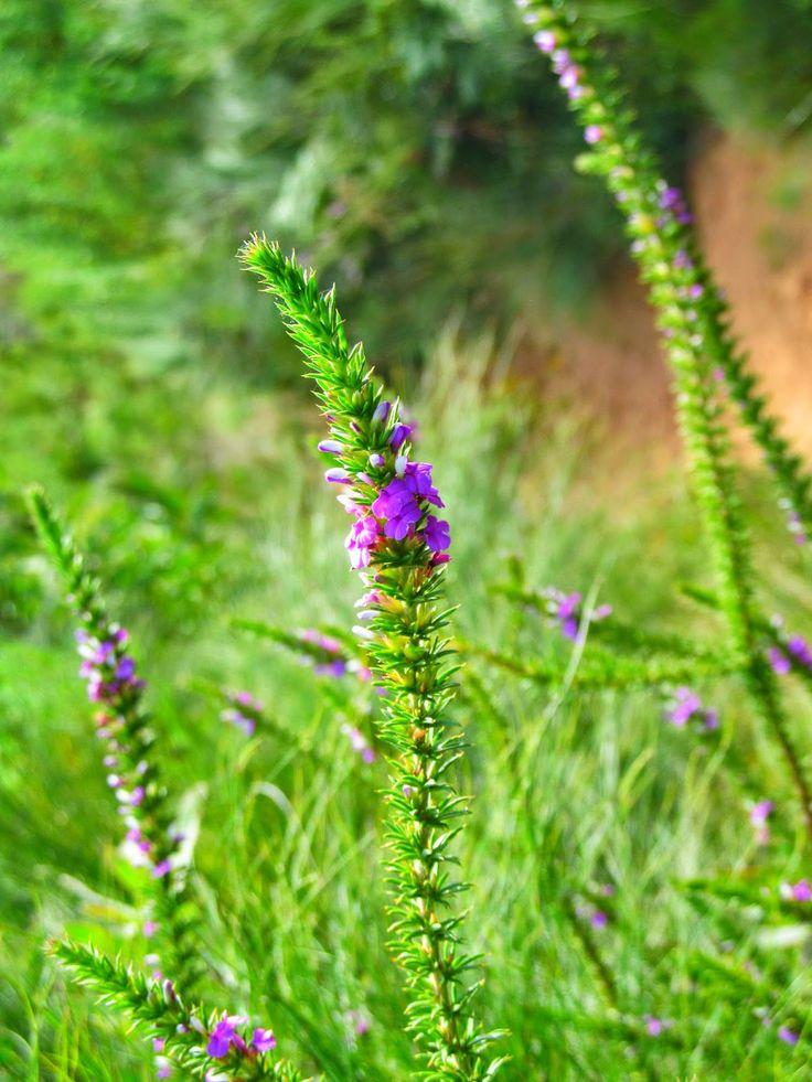 Beautiful #flora in #Stellenbosch South Africa.
