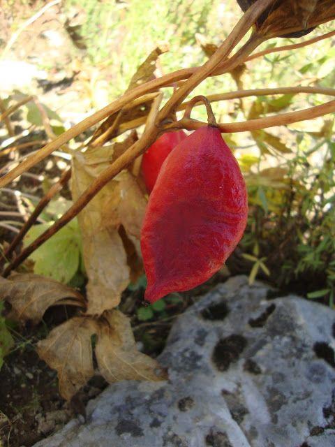 Podophyllum hexandrum http://lefotodiluisella.blogspot.it/2015/09/giardino-botanico-alpino-viotte.html