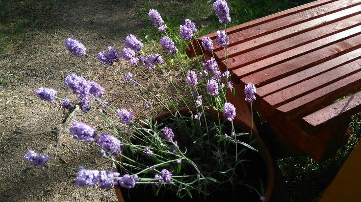Kesäkukkia. Laventeli on aina yhtä ihana. Lavender for summer. It is always so lovely.