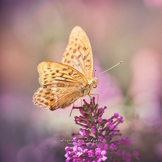 Orange butterfly in France, Les Gorges du Verdon | Purple | Dreamy  Copyright Lizemijn Libgott  https://instagram.com/lizemijn