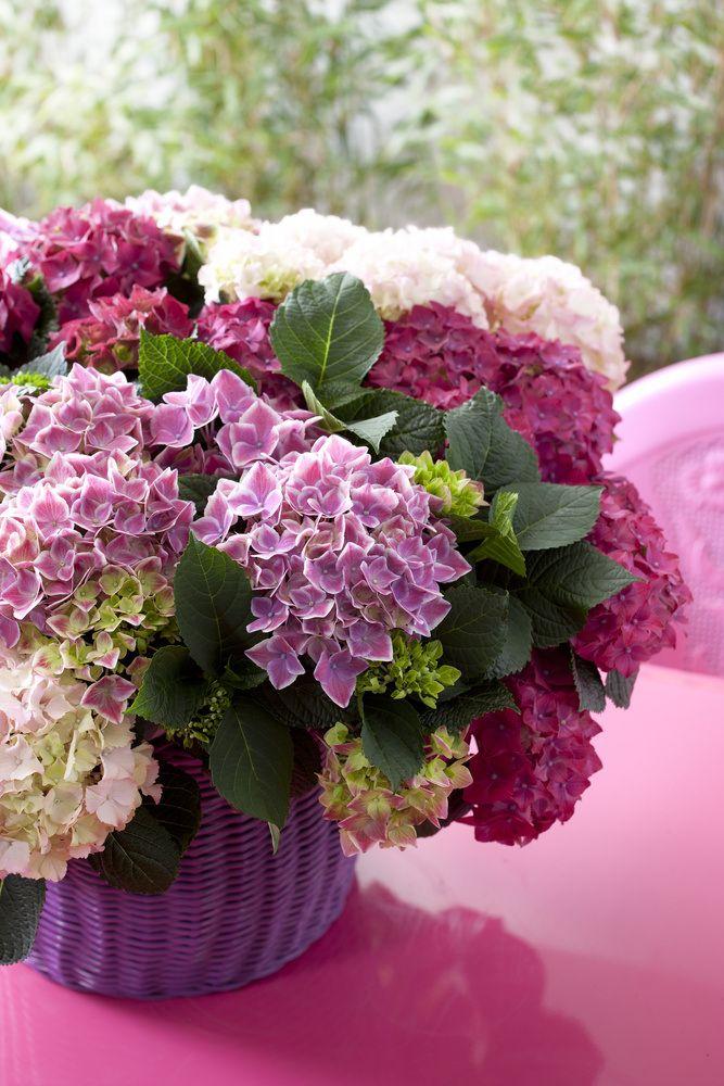 Ai văzut minunatele hortensii din florării? Ei bine, ele te vor bucura cu flori până toamna târziu, dar asta numai dacă știi să ai grijă de ele. Deși le găsești la ghiveci, hortensiile sunt plante ...